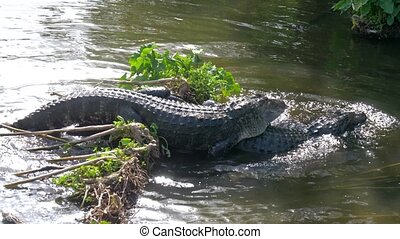 Alligators male and female during mating period mate in water. Gator mating season in Florida. Crocodile mating. American Alligator - Alligator mississippiensis. Alligators in a swamp in Florida.