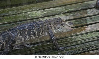 Alligator on a wooden wet platform. - Alligator slowly walks...