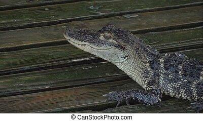 Alligator on a wooden wet platform. Close up. - Aligator...