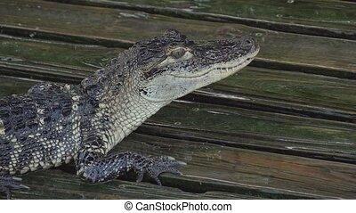 Alligator on a wooden wet platform. Close up. - Alligator on...