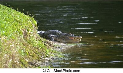 Alligator laying near a pond with its mouth open.