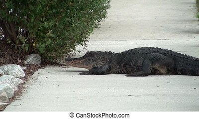 Alligator on the sidewalk