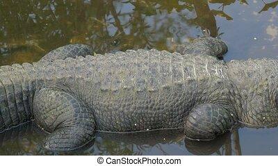 alligator, pose, panoramique, coup, marais