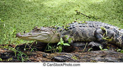 alligator, sümpfe, wälder, zurück, louisiana.