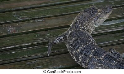 Alligator slowly walks across the platform. Drops drip near...
