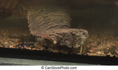 Alligator snapping turtle. Massive paw of a reptile with big...