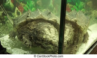 Alligator snapping turtle swims in the aquarium. - A huge...
