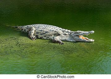 Alligator Mississipiensis wide open mouth