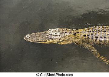 alligator swimming in florida wetland pond