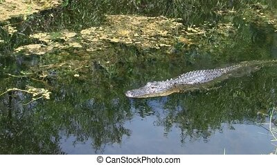 Alligator Swimming in the Everglades in Florida