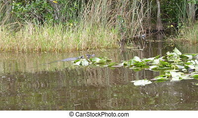 Alligator swimming in wetland in Everglades National Park
