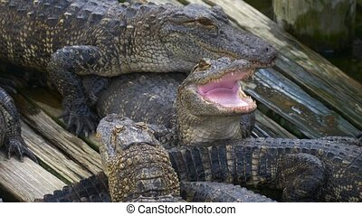 Alligator with mouth open. - Alligator threatens open jaw...