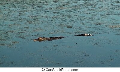 Alligator walking and swimming in shallow water.