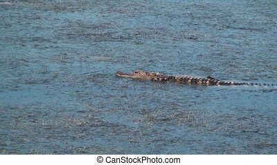 Alligator walking in shallow water