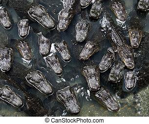 alligatoren