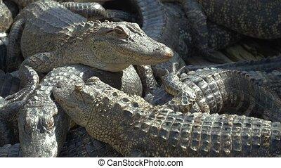 alligators, élevage, farm.