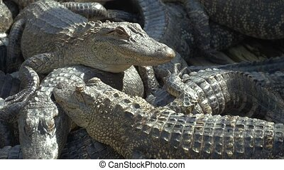 Alligators breeding farm. - Alligators crouch along one...