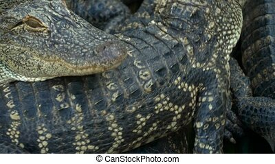 Alligators breeding farm. - Alligators farm lots of...