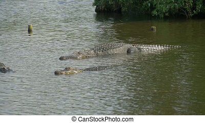 Alligator floats just above the water - Alligators Swimming....