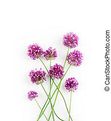 allium, цветы, задний план, против, белый