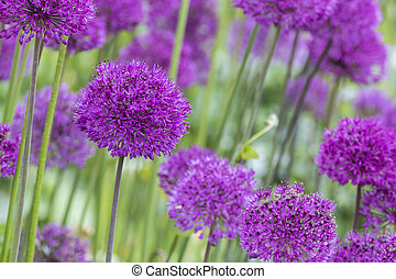 allium (Allium Giganteum) - Allium (Allium Giganteum) in...