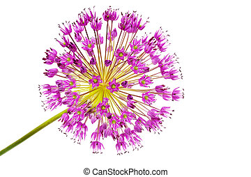 Allium - Alllium flowers isolated on white background