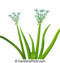 Allium cepa - The onion, also known as the bulb onion or ...
