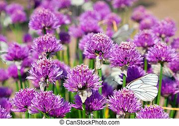 Allium field with Butterflies - Allium Schoenoprasum field ...