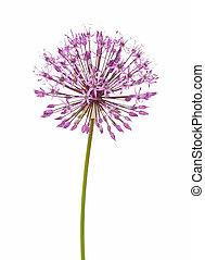 Allium flower isolated on white background