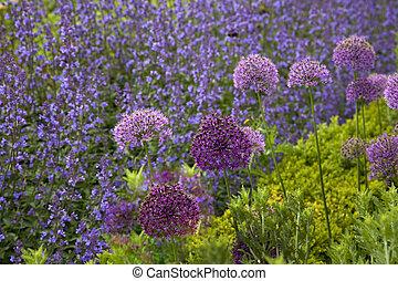 Allium & Flowering Sage