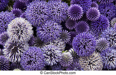 A background of allium flower heads