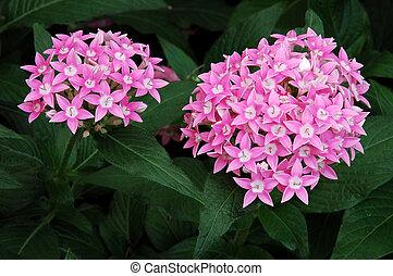 Allium Flowers - Allium unifolium flowers, known as ...