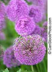 Many round shaped blooming Allium flowers in spring time