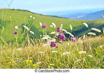 Allium flowers on mountain meadow, selective focus