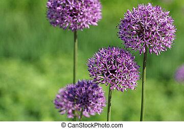 Allium Giganteum Flowers - A group of Allium giganteum ...