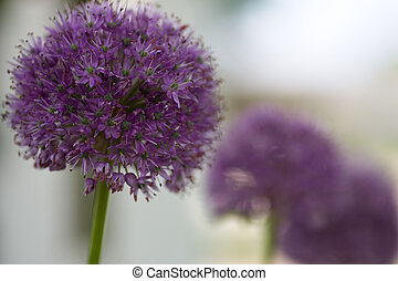 An Allium flower, also known as the 'Gladiator', with out of focus flowers in the background.