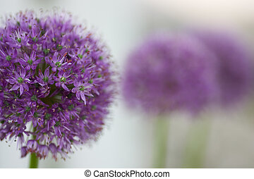 Allium Gladiator flower lineup