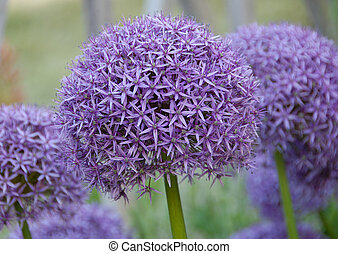 Allium hollandicum purple sensation flower - ball shape...
