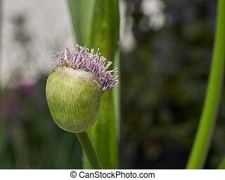allium in bloom in the garden