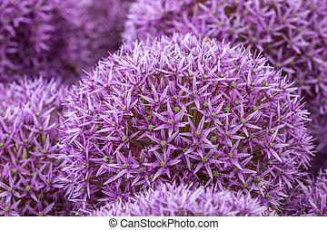 Allium in full flower