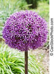 Allium is the onion genus
