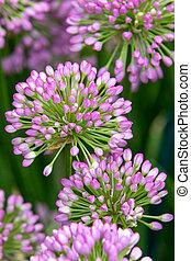 Allium (Millenium) in full flower