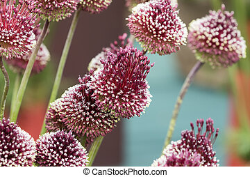 allium mohican - Red Mohican Wine red florets