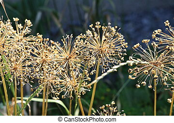 Allium (Onion Plant)