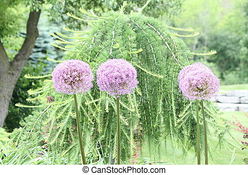 Allium Plant-Flower