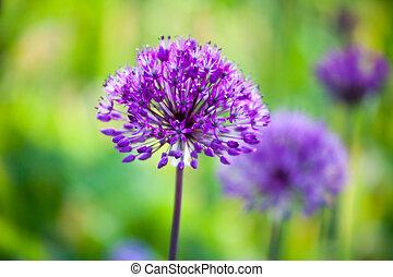Allium - Purple allium flower blooming in spring