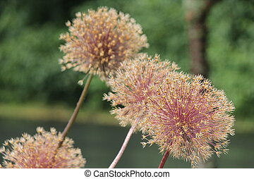 Allium Seed Head