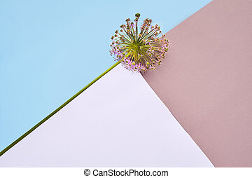 Allium sphaerocephalon round-headed leek, round-headed garlic, ball-head onion on colorful background