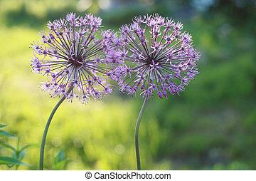 Allium two flowers