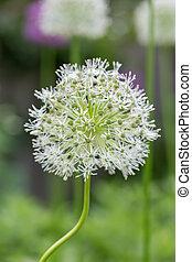 Allium - White allium with a crooked stem.